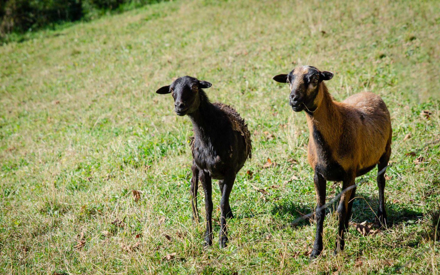Dwie kozy stoją na polanie