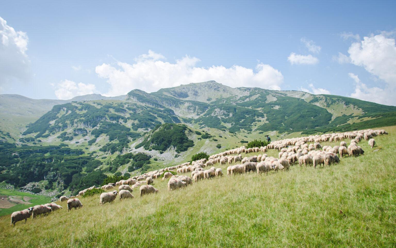 Owce spotykane podczas trekkingu w Rumunii