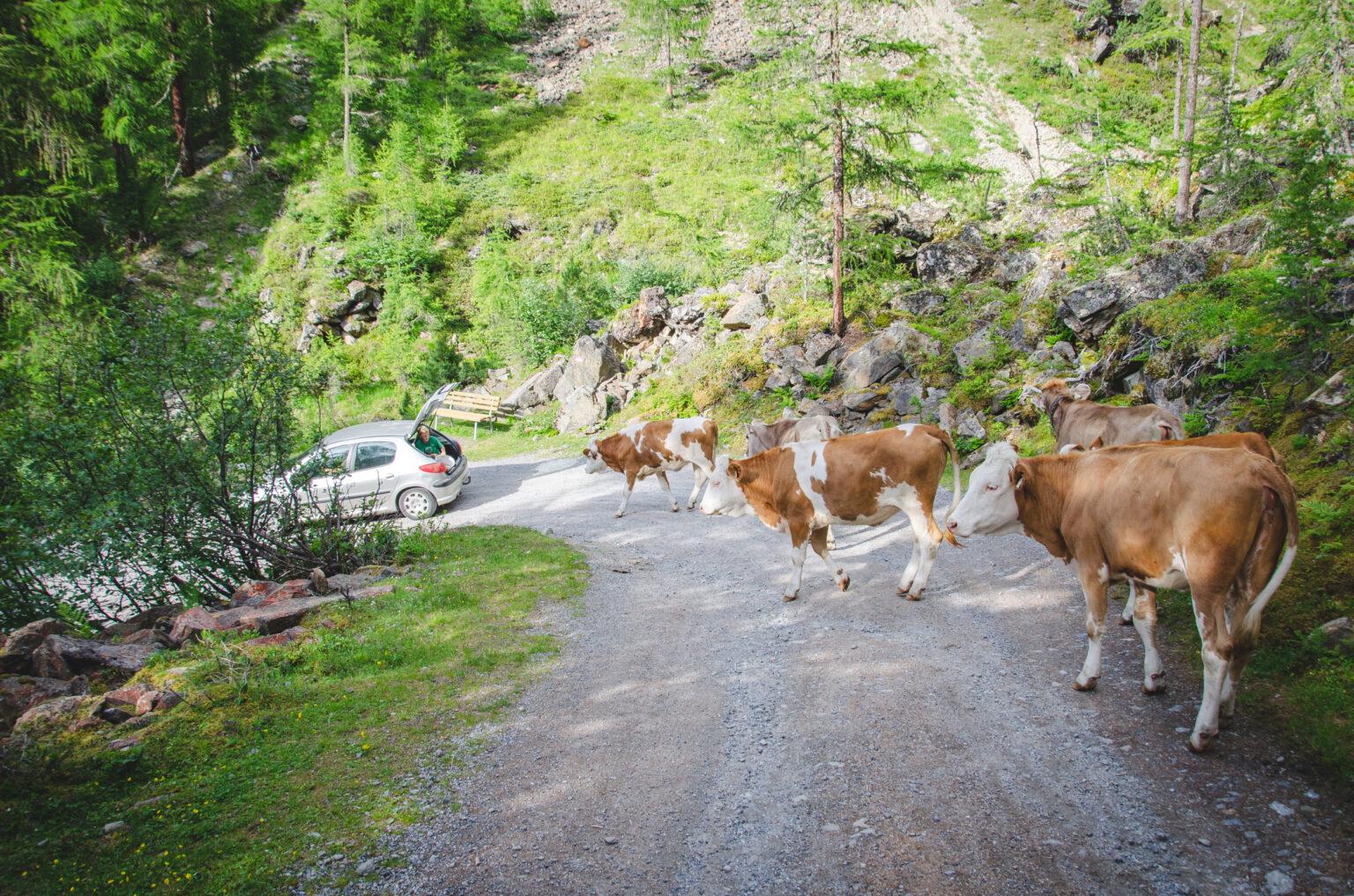 Krowy na szlaku do Ambergerhutte